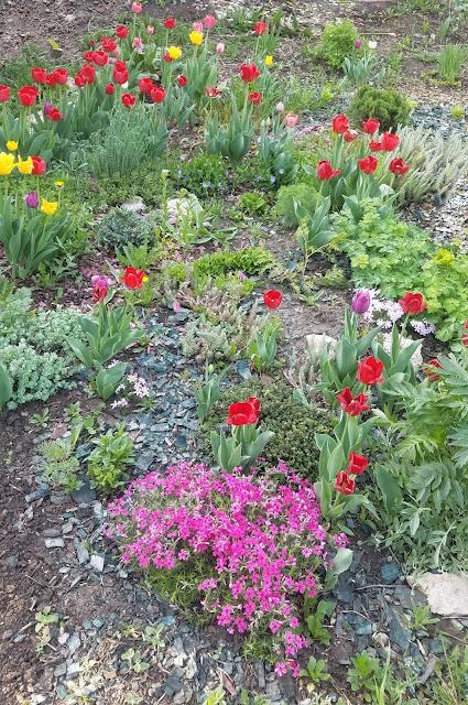 тюльпаны и флокс шиловидный