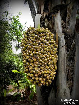 Fruits INAJÁ - ( Attalea maripa )