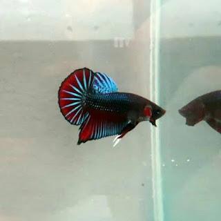 Ciri-ciri ikan cupang besgel
