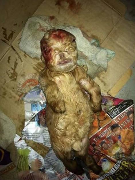 Berita Kambing Lahirkan Bayi Mirip Manusia di Johor