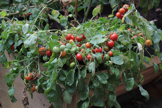 Ripe red bush cherry tomatoes growing in a raised bed