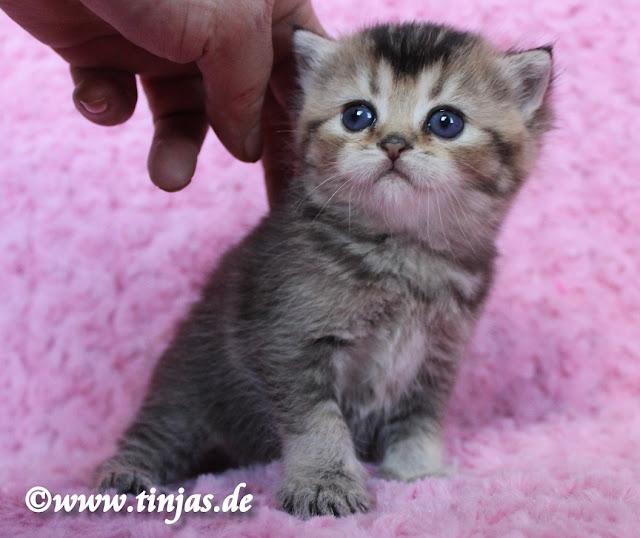 Britisch Kurzhaar Kitten golden tabby
