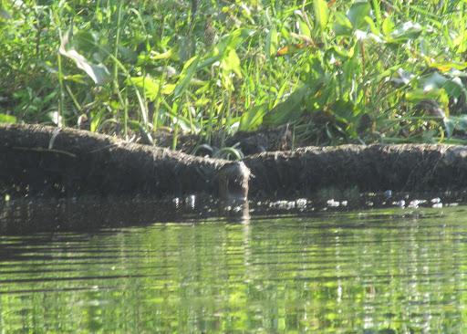 Assabet Otter 7/26