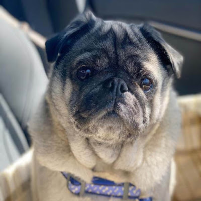 Caring for your Pug