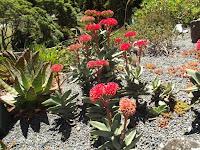 Airplane or Propeller plant - Wellington Botanic Garden, New Zealand