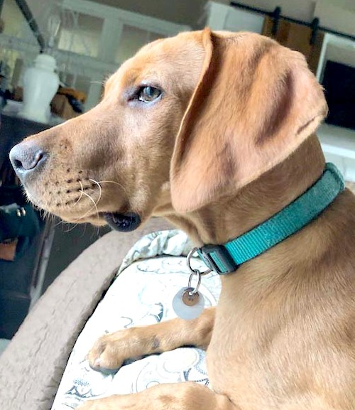 Vizsla Mix Dog, Bliss-Ranch.com