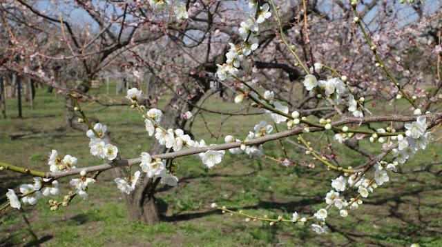 梅園に咲く白梅