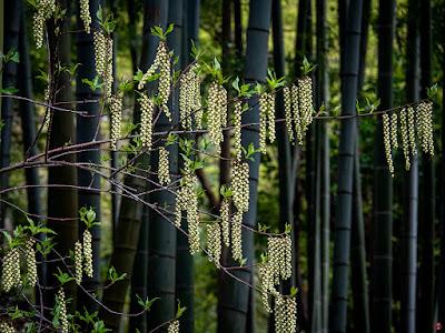 Kibushi (Stachyurus praecox) flowers: Engaku-ji