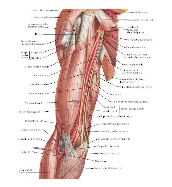 Brachial Artery in Situ Anatomy