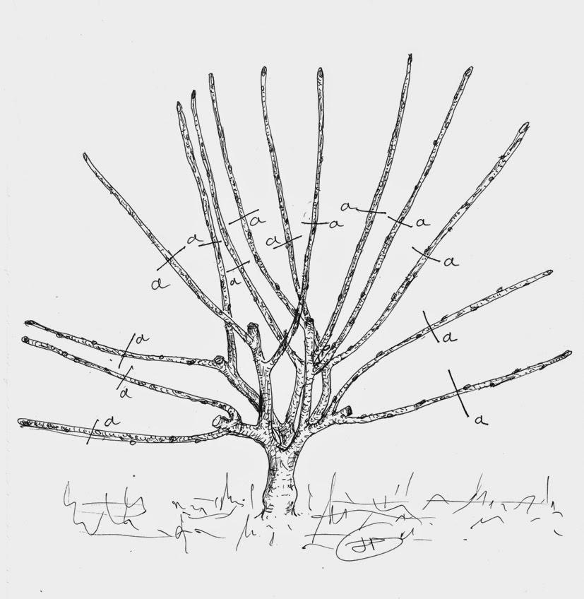 Les secrets de la taille et de la greffe des arbres fruitiers bio 10 30 14 - Calendrier taille arbres fruitiers ...