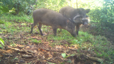 Fewer than 250 mature Bawean warty pigs in existence