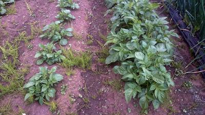キタアカリの芽かき前の畝