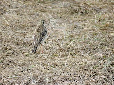 Uganda Birds: African Pipit