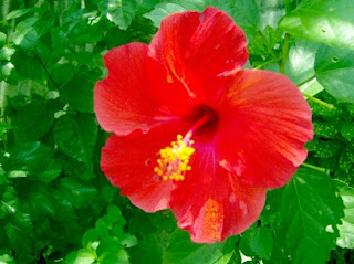 ciri bunga sepatu,bunga sepatu dan bagian-bagiannya,bagian-bagian bunga sepatu,klasifikasi bunga sepatu,morfologi bunga sepatu,nama latin bunga sepatu,struktur bunga sepatu,kandungan bunga sepatu,
