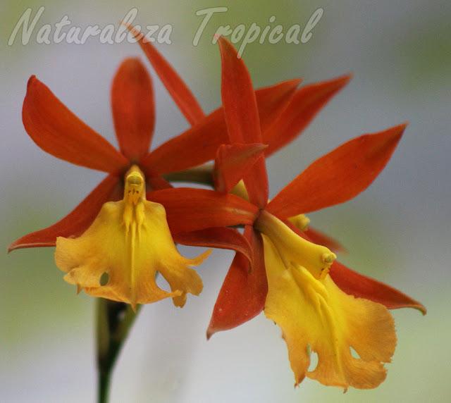 Flores características de la exótica orquídea Epidendrum `Orange Blaze´