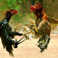 Diduga Judi Sabung Ayam, Wakil Rakyat Luwu Utara Diciduk Polisi