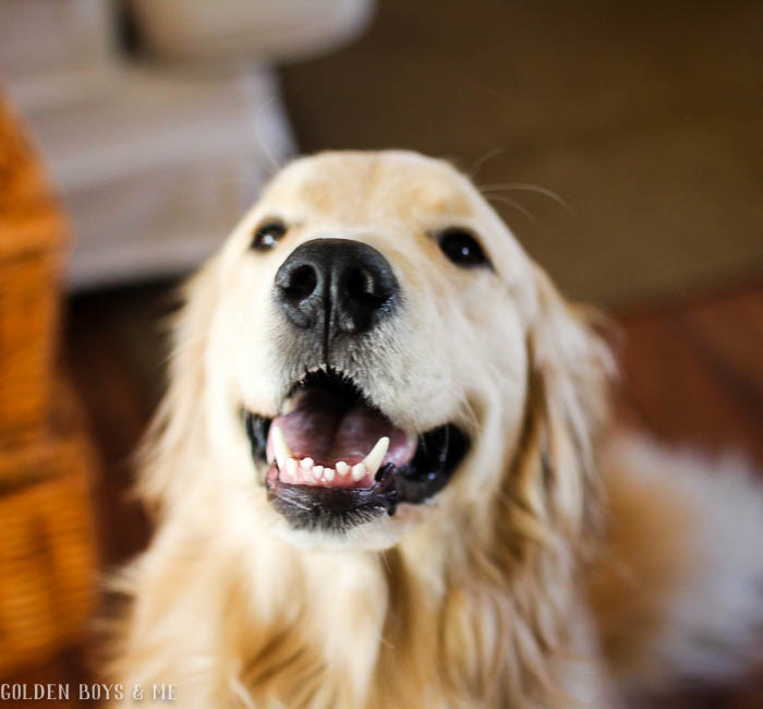 Smiling golden retriever - www.goldenboysandme.com