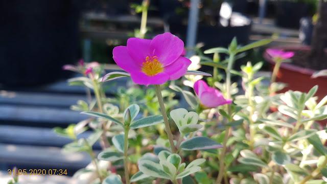 Hoa mười giờ cẩm thạch