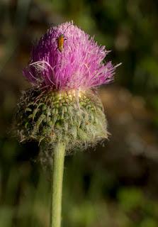 Fotografía naturaleza: insecto sobre flor de cardo