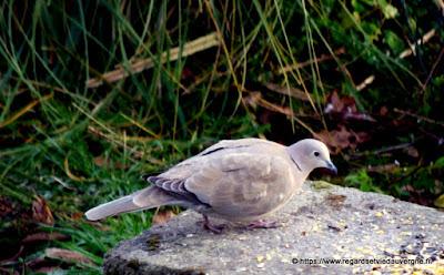Oiseaux du jardin :  Tourterelle de Turquie