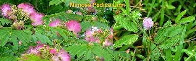 Insomnia use Mimosa Pudica