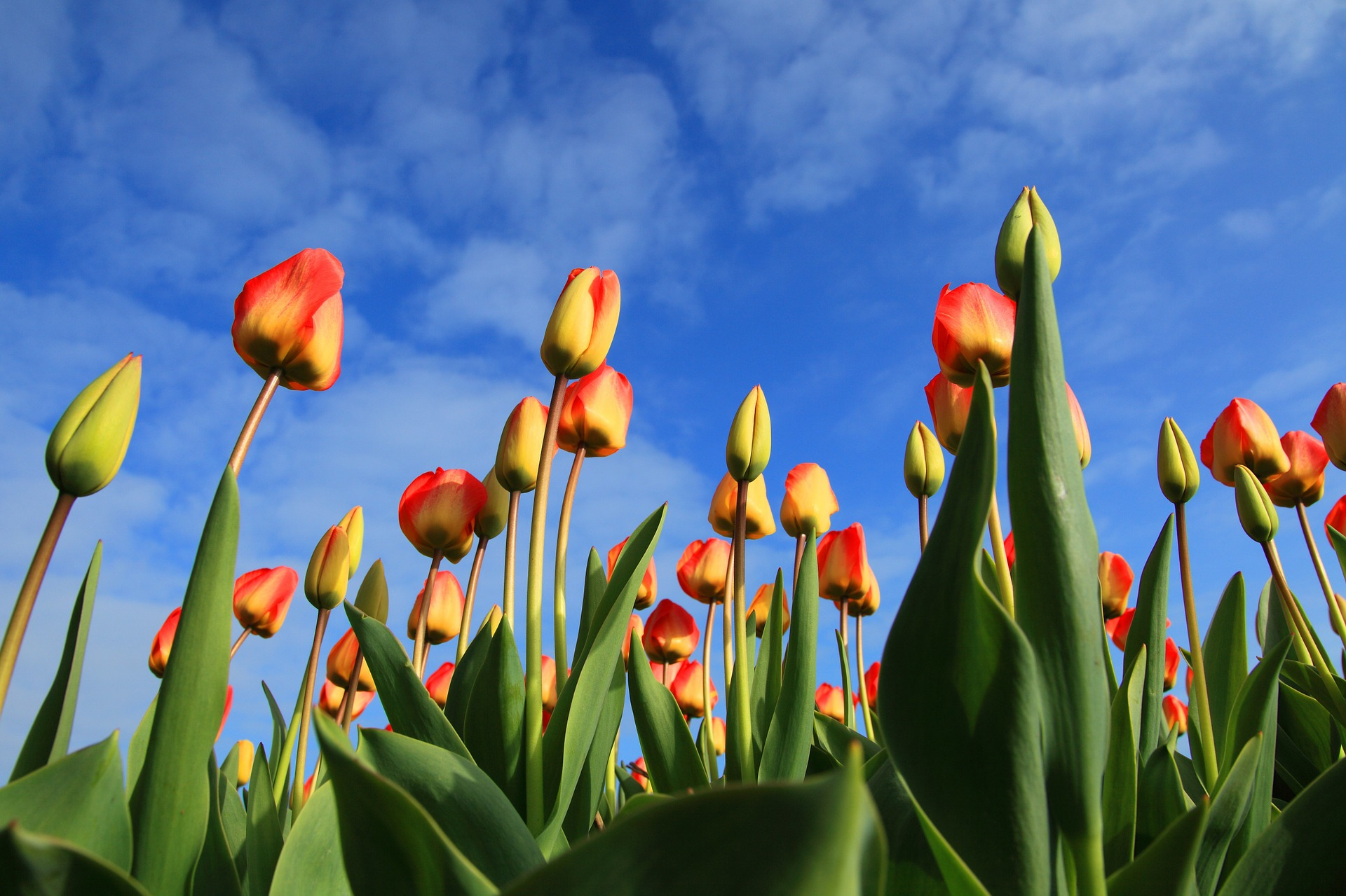 A Few Valuable Tips on Planting Tulips