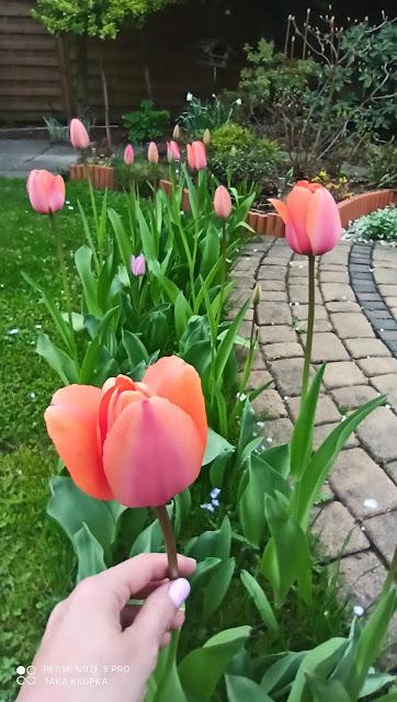 Tulipany - rady, inspiracje, zdjęcia