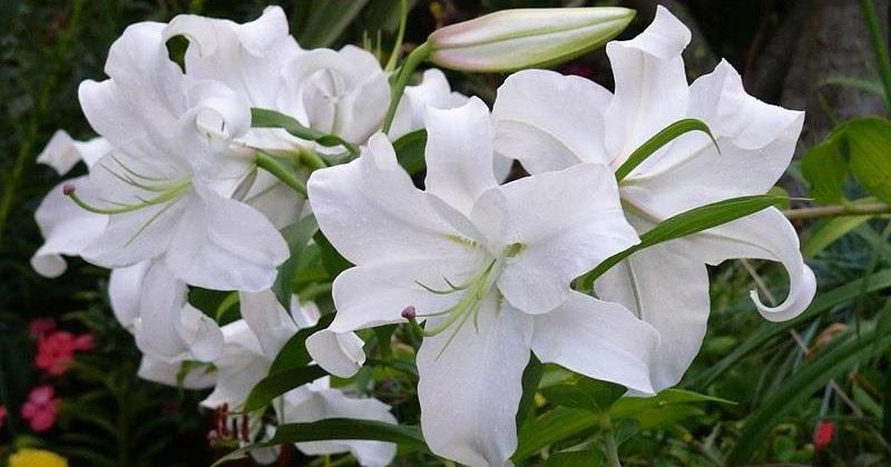 100+ Gambar Bunga Lili Paris Paling Cantik
