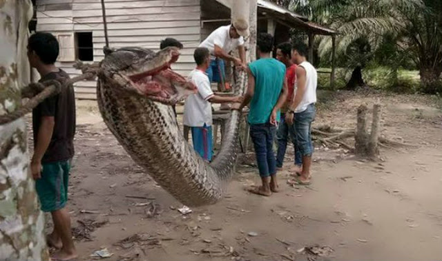 Man Fighting For Life After a Deadly Battle With a 23 Foot-Long Python!
