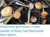 https://sciencythoughts.blogspot.com/2019/05/gliophorus-glutinosus-new-species-of.html