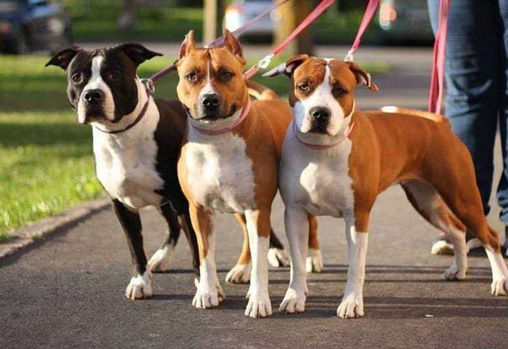 American Staffordshire Terrier - Tout ce que vous devez savoir sur la race