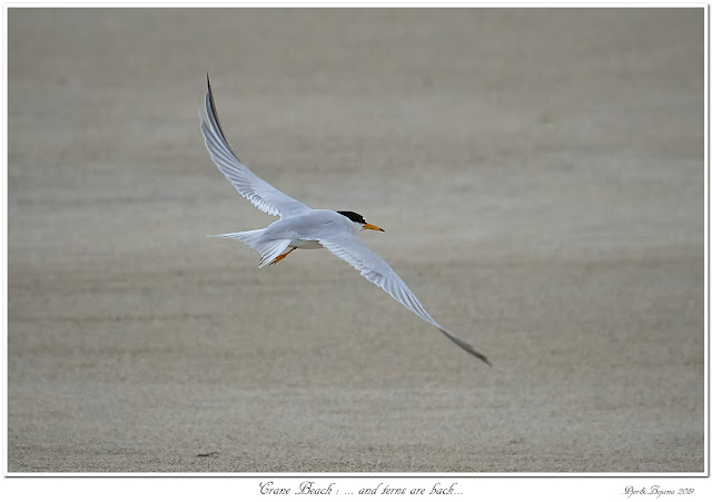 Crane Beach: ... and terns are back...
