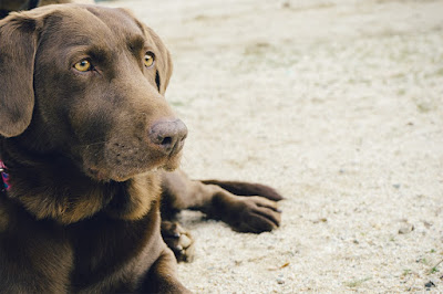 choco brown labrador retriever
