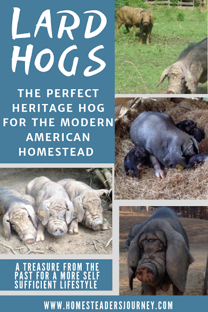 Heritage Lard Hogs and their role on the modern homestead for a more self sufficient lifestyle! #homesteader #heritagepork #pasturedpork