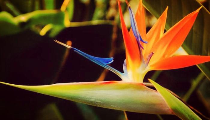 Planta ave del paraiso