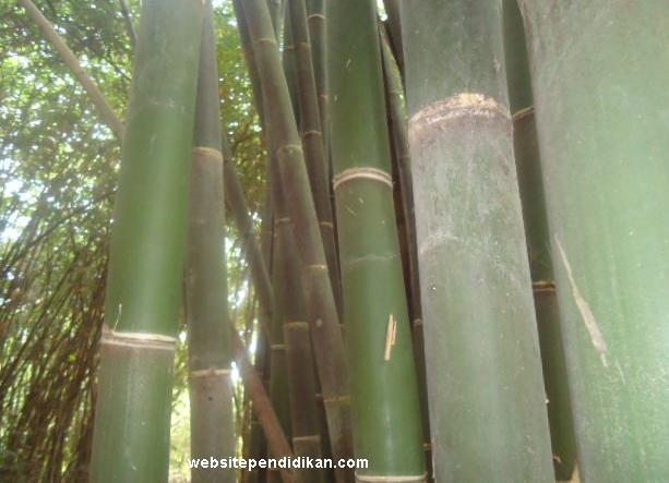 Bambu Wulung
