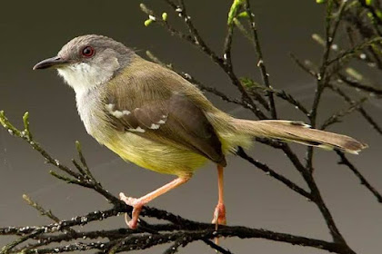 Download Suara Burung Ciblek Gacor Paling Lengkap