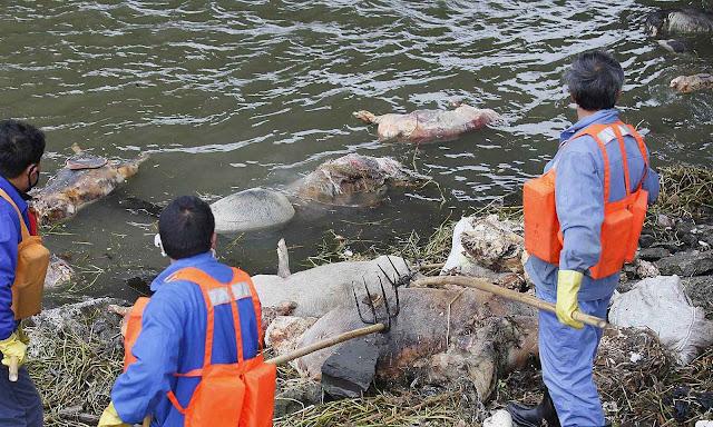 Milhares de carcaças podres no rio que fornece água potável a Shangai.