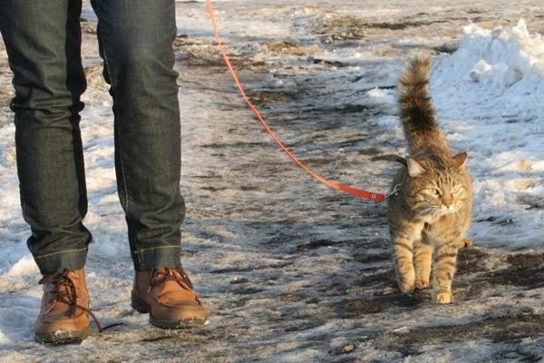 кошка на поводке