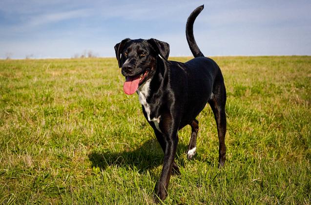lab-pointer-dog-breed
