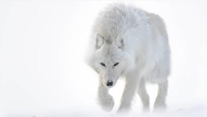 Lobo do Ártico