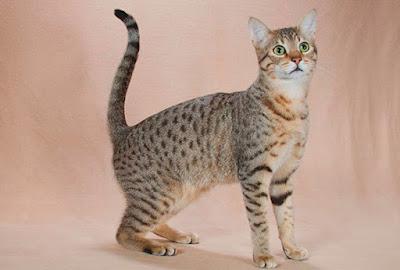 Ras Kucing Kanaani