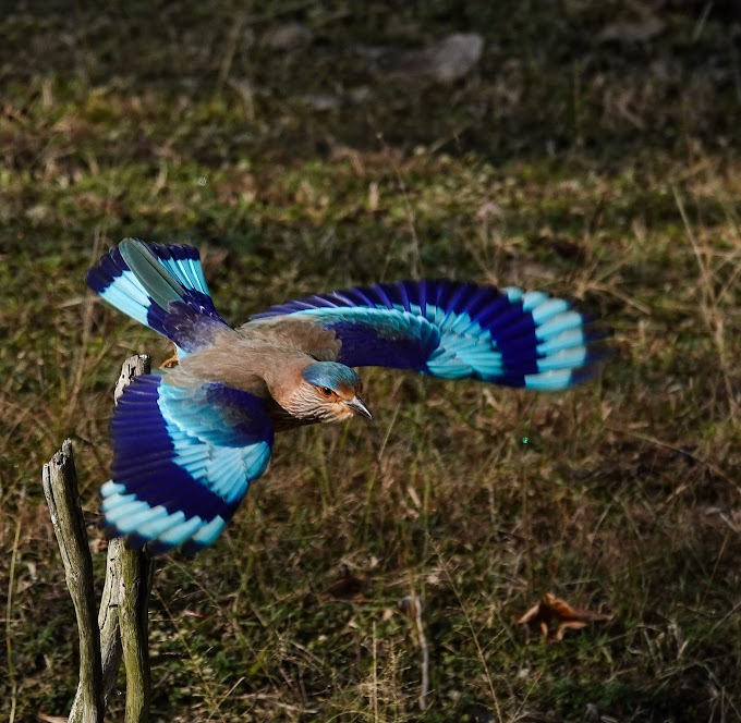 Indian Roller at Pench National Park