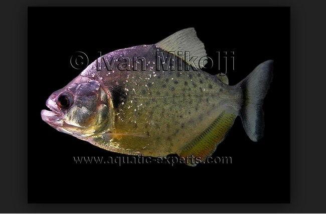 ikan piranha vs buaya