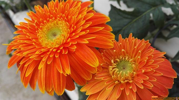 Bunga Kekwa Cameron Highlands