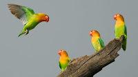 fischer lovebird pictures