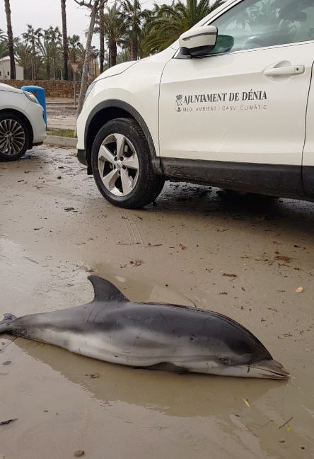 Delfín encontrado en Dénia