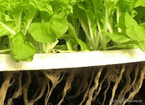 Budidaya Sayuran Menggunakan Sistem Aeroponik