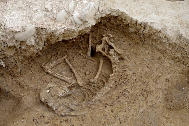 Skeleton of sacrificed dog unearthed at the Domus Aemilia site in Tuscany