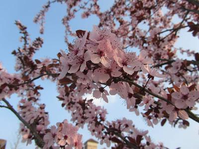 Fiori Prunus cerasifera